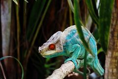 Kameleon w Madagascar fotografia stock