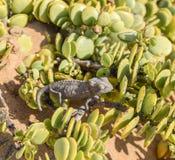 Kameleon w Namibia Fotografia Royalty Free