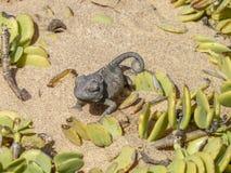 Kameleon w Namibia Zdjęcie Stock