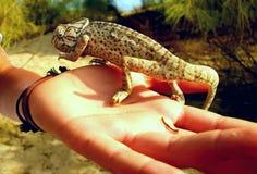 Kameleon w ręce Fotografia Stock