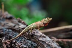 Kameleon w Tajlandia, gad w Tajlandia Zdjęcie Stock