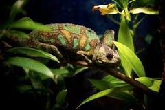 Kameleon w zielonym lesie obraz royalty free