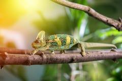 Kameleon w zoo: W górę obrazka kameleonu pięcie na gałąź sunshine fotografia royalty free