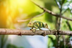 Kameleon w zoo: W górę obrazka kameleonu pięcie na gałąź sunshine zdjęcia royalty free