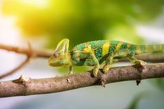 Kameleon w zoo: W górę obrazka kameleonu pięcie na gałąź sunshine obrazy royalty free