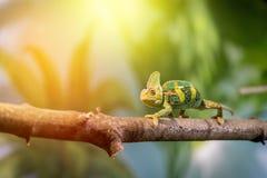 Kameleon w zoo: W górę obrazka kameleonu pięcie na gałąź sunshine obraz stock