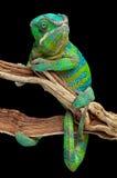 Kameleon zawijający wokoło gałąź Zdjęcia Royalty Free