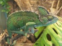 kameleon zieleń Zdjęcia Stock
