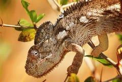 Kameleonclose-up Royalty-vrije Stock Foto