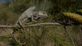 Kameleonmoulting stock video