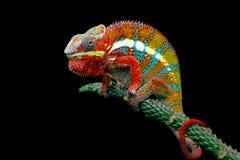 Kameleonpanter op tak met zwarte achtergrond stock afbeeldingen