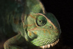 Kameleontödla Arkivfoton