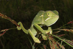 kameleont Arkivfoto