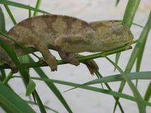 Kameleont Fotografering för Bildbyråer