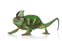 kameleont Arkivbilder