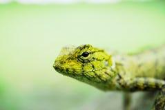 Kameleont Royaltyfri Foto