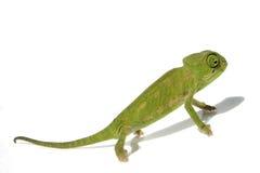 kameleont 3 Arkivbild
