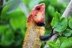 kameleont Royaltyfria Bilder