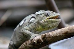 kameleont Arkivbild