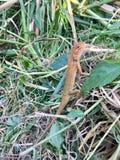Kameleont Asien royaltyfri bild
