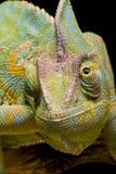 kameleont beslöjade yemen Arkivfoto