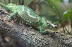 Kameleont för Jackson ` s Royaltyfria Bilder