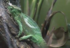Kameleont för Jackson ` s Arkivfoton