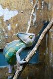 Kameleont filialen Royaltyfri Foto