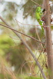 Kameleont i den gröna skogen Royaltyfria Bilder