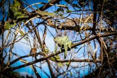 Kameleont i det löst Arkivfoto