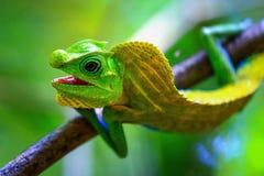 Kameleont i en naturlig miljö i skogen Arkivfoto