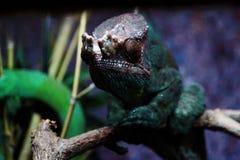 Kameleont i ett träd Arkivfoto