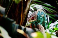 Kameleont i Madagaskar royaltyfri fotografi