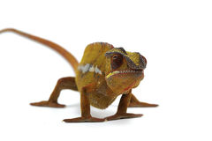 kameleont isolerad white Royaltyfri Foto