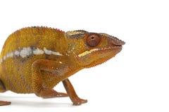 kameleont isolerad white Arkivfoto
