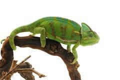 kameleont isolerad white Fotografering för Bildbyråer