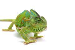 kameleont isolerad white Arkivbild