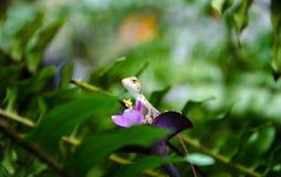 kameleont little Royaltyfri Bild
