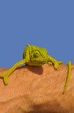 Kameleont på armen Royaltyfri Foto