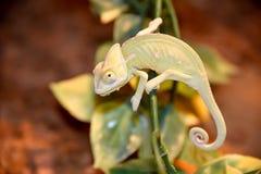 Kameleont på en växtstam Arkivfoto