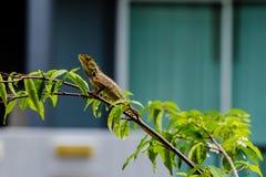 Kameleont på filial av trädet Royaltyfri Bild