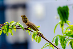 Kameleont på filial av trädet arkivfoto
