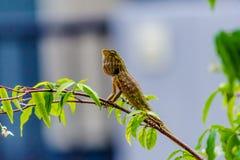 Kameleont på filial av trädet royaltyfri foto