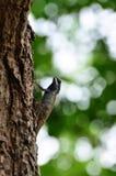 Kameleont på trädet Arkivfoton
