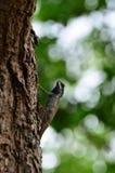 Kameleont på trädet Royaltyfria Foton