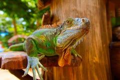 Kameleont på treen Arkivfoto