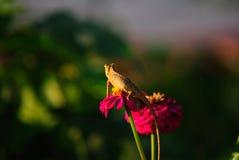 Kameleont på Zinnia Royaltyfri Bild