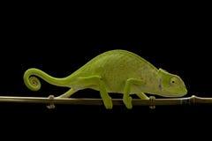 kameleont senegal Royaltyfri Fotografi