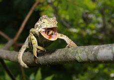 Kameleont som matar på fel royaltyfria foton
