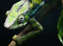 Kameleont som ser dig royaltyfri foto